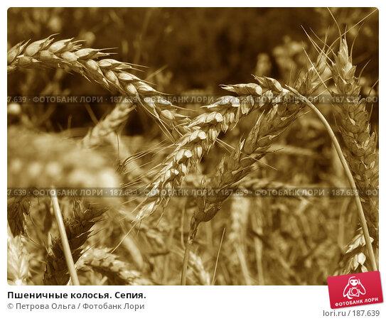 Пшеничные колосья. Сепия., фото № 187639, снято 11 июля 2007 г. (c) Петрова Ольга / Фотобанк Лори