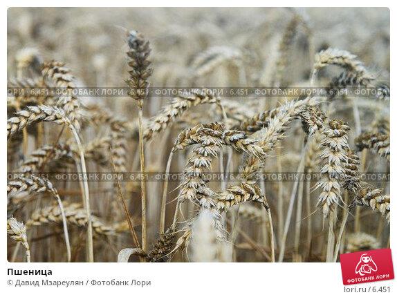 Пшеница, фото № 6451, снято 30 июля 2006 г. (c) Давид Мзареулян / Фотобанк Лори