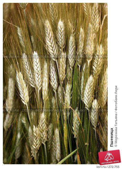 Пшеница, фото № 272755, снято 20 апреля 2008 г. (c) Морозова Татьяна / Фотобанк Лори