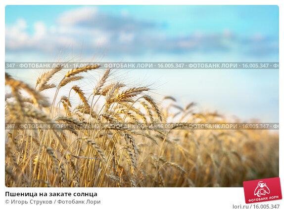Купить «Пшеница на закате солнца», фото № 16005347, снято 16 июля 2015 г. (c) Игорь Струков / Фотобанк Лори