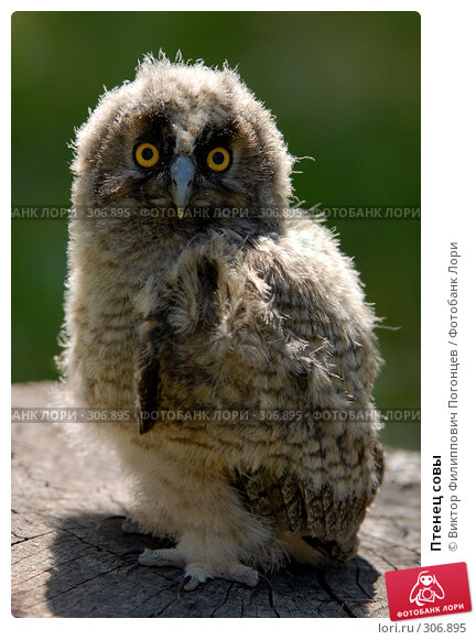 Птенец совы, фото № 306895, снято 8 июня 2007 г. (c) Виктор Филиппович Погонцев / Фотобанк Лори