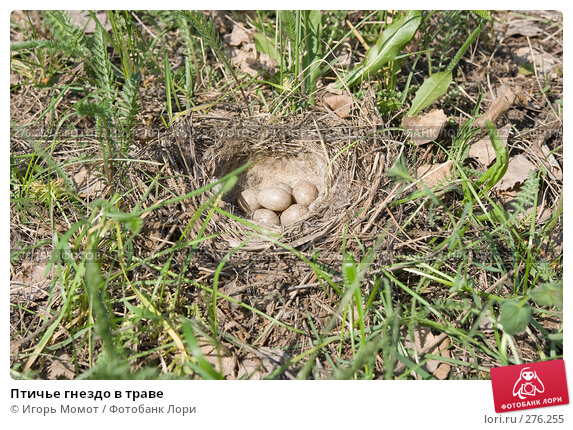 Птичье гнездо в траве, фото № 276255, снято 7 мая 2008 г. (c) Игорь Момот / Фотобанк Лори