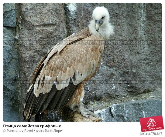 Птица семейства грифовых, фото № 70647, снято 7 мая 2005 г. (c) Parmenov Pavel / Фотобанк Лори