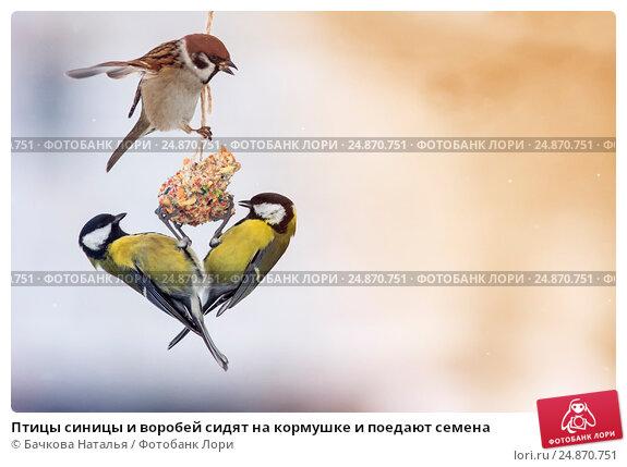 Купить «Птицы синицы и воробей сидят на кормушке и поедают семена», фото № 24870751, снято 4 января 2017 г. (c) Бачкова Наталья / Фотобанк Лори