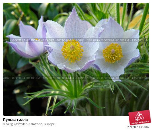Пульсатилла, фото № 135087, снято 20 мая 2005 г. (c) Serg Zastavkin / Фотобанк Лори