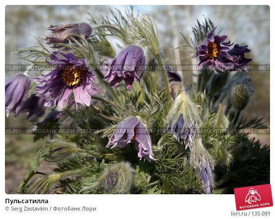 Пульсатилла, фото № 135091, снято 22 мая 2006 г. (c) Serg Zastavkin / Фотобанк Лори