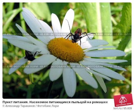 Пункт питания. Насекомое питающиеся пыльцой на ромашке, фото № 65839, снято 30 мая 2017 г. (c) Александр Тараканов / Фотобанк Лори