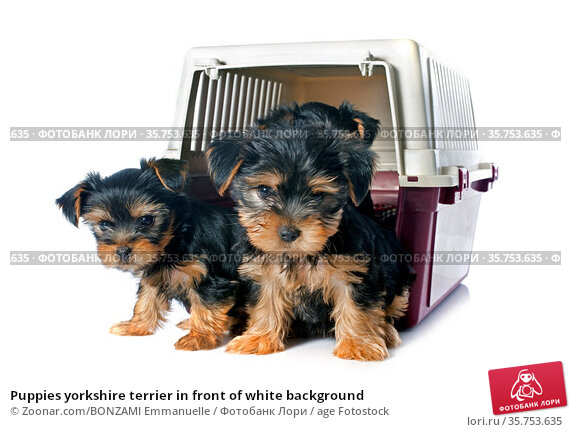 Puppies yorkshire terrier in front of white background. Стоковое фото, фотограф Zoonar.com/BONZAMI Emmanuelle / age Fotostock / Фотобанк Лори