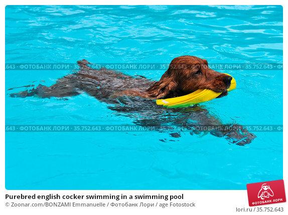 Purebred english cocker swimming in a swimming pool. Стоковое фото, фотограф Zoonar.com/BONZAMI Emmanuelle / age Fotostock / Фотобанк Лори
