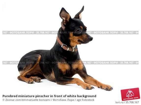 Purebred miniature pinscher in front of white background. Стоковое фото, фотограф Zoonar.com/emmanuelle bonzami / age Fotostock / Фотобанк Лори