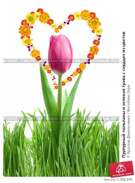Купить «Пурпурный тюльпаны и зеленая трава с сердцеv из цветов», фото № 1356975, снято 24 апреля 2009 г. (c) Ярослав Данильченко / Фотобанк Лори