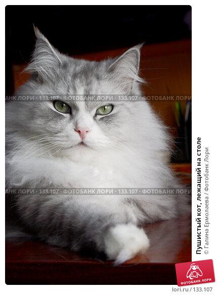 Пушистый кот, лежащий на столе, фото № 133107, снято 21 января 2007 г. (c) Галина Ермолаева / Фотобанк Лори