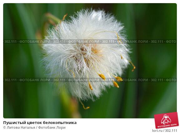 Пушистый цветок белокопытника, фото № 302111, снято 8 мая 2008 г. (c) Литова Наталья / Фотобанк Лори