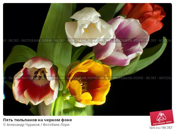 Пять тюльпанов на черном фоне, фото № 99787, снято 8 марта 2007 г. (c) Александр Чураков / Фотобанк Лори