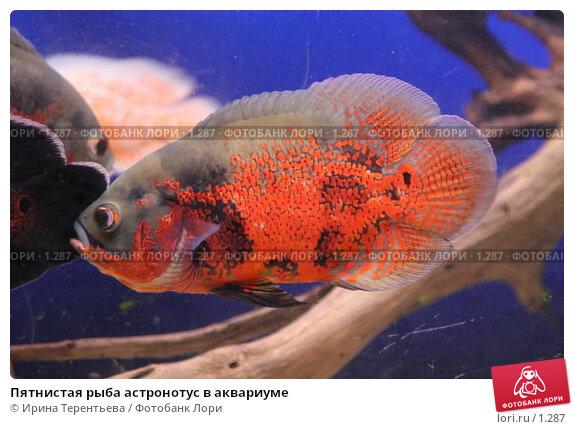 Купить «Пятнистая рыба астронотус в аквариуме», эксклюзивное фото № 1287, снято 15 сентября 2005 г. (c) Ирина Терентьева / Фотобанк Лори
