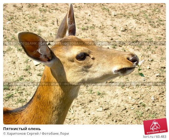 Купить «Пятнистый олень», фото № 60483, снято 8 июля 2007 г. (c) Харитонов Сергей / Фотобанк Лори