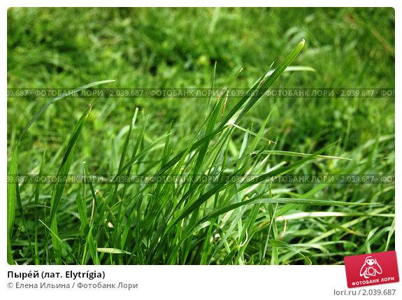 Купить «Пыре́й (лат. Elytrígia)», фото № 2039687, снято 9 мая 2010 г. (c) Елена Ильина / Фотобанк Лори