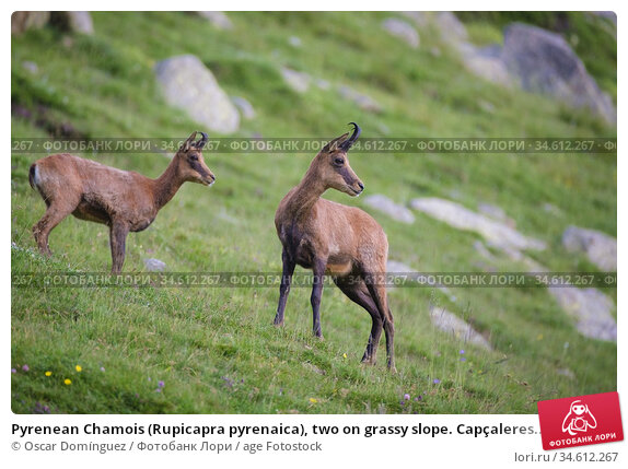 Pyrenean Chamois (Rupicapra pyrenaica), two on grassy slope. Capçaleres... Стоковое фото, фотограф Oscar Domínguez / age Fotostock / Фотобанк Лори