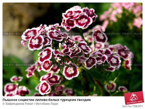 Пышное соцветие лилово-белых турецких гвоздик, фото № 158911, снято 4 августа 2007 г. (c) Хайрятдинов Ринат / Фотобанк Лори