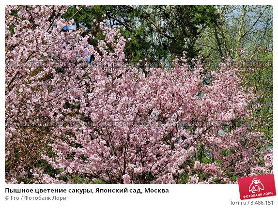 Купить «Пышное цветение сакуры, Японский сад, Москва», фото № 3486151, снято 30 апреля 2012 г. (c) Fro / Фотобанк Лори