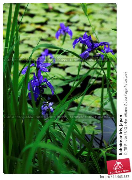 Купить «Rabbitear Iris, Japan», фото № 14903587, снято 21 июня 2018 г. (c) age Fotostock / Фотобанк Лори