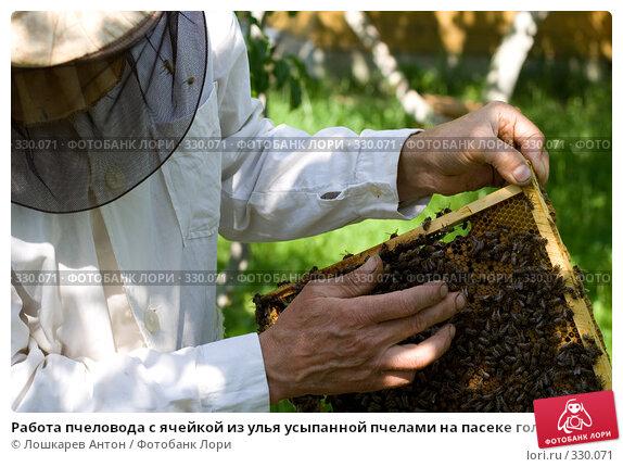 Работа пчеловода с ячейкой из улья усыпанной пчелами на пасеке голыми руками, фото № 330071, снято 28 мая 2017 г. (c) Лошкарев Антон / Фотобанк Лори