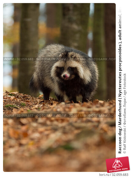 Raccoon dog / Marderhund ( Nyctereutes procyonoides ), adult animal, invasive species, stands in a forest, licking its tongue, looks eager, in autumn, Europe. Стоковое фото, фотограф Ralf Kistowski / age Fotostock / Фотобанк Лори