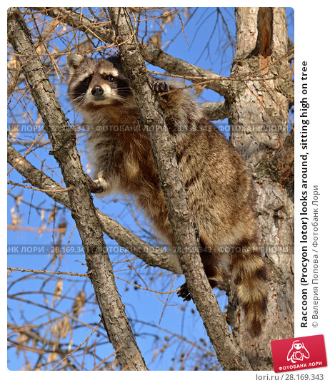 Купить «Raccoon (Procyon lotor) looks around, sitting high on tree», фото № 28169343, снято 9 марта 2018 г. (c) Валерия Попова / Фотобанк Лори