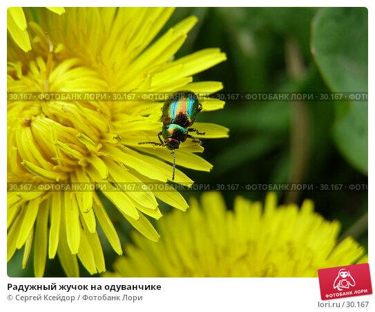 Радужный жучок на одуванчике, фото № 30167, снято 28 мая 2006 г. (c) Сергей Ксейдор / Фотобанк Лори