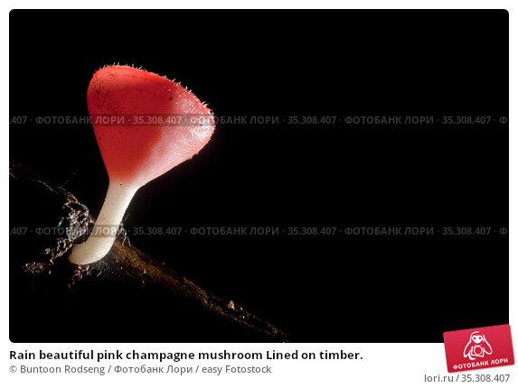 Rain beautiful pink champagne mushroom Lined on timber. Стоковое фото, фотограф Buntoon Rodseng / easy Fotostock / Фотобанк Лори