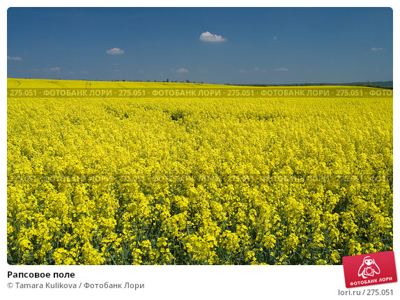 Купить «Рапсовое поле», фото № 275051, снято 6 мая 2008 г. (c) Tamara Kulikova / Фотобанк Лори