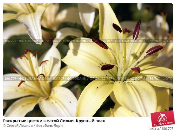 Раскрытые цветки желтой Лилии. Крупный план, фото № 186707, снято 22 июля 2007 г. (c) Сергей Лешков / Фотобанк Лори