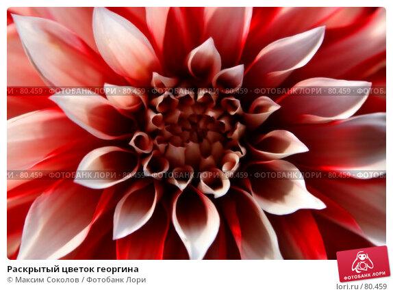 Купить «Раскрытый цветок георгина», фото № 80459, снято 1 сентября 2007 г. (c) Максим Соколов / Фотобанк Лори