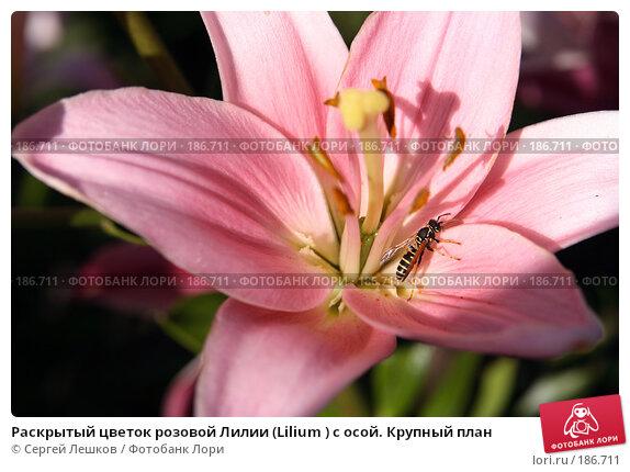 Купить «Раскрытый цветок розовой Лилии (Lilium ) с осой. Крупный план», фото № 186711, снято 22 июля 2007 г. (c) Сергей Лешков / Фотобанк Лори