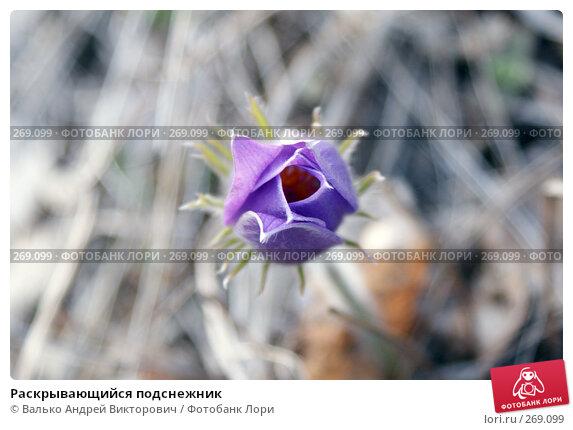 Раскрывающийся подснежник, фото № 269099, снято 1 мая 2008 г. (c) Валько Андрей Викторович / Фотобанк Лори