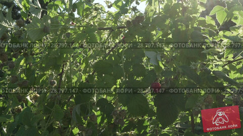 Купить «Raspberries ripen on bush in the garden stock footage video», видеоролик № 28797147, снято 19 июля 2018 г. (c) Юлия Машкова / Фотобанк Лори