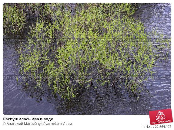Распушилась ива в воде. Стоковое фото, фотограф Анатолий Матвейчук / Фотобанк Лори