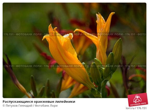 Купить «Распускающиеся оранжевые лилейники», фото № 176151, снято 24 июля 2007 г. (c) Петухов Геннадий / Фотобанк Лори