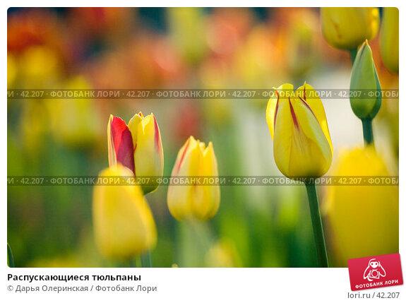 Купить «Распускающиеся тюльпаны», фото № 42207, снято 15 мая 2005 г. (c) Дарья Олеринская / Фотобанк Лори