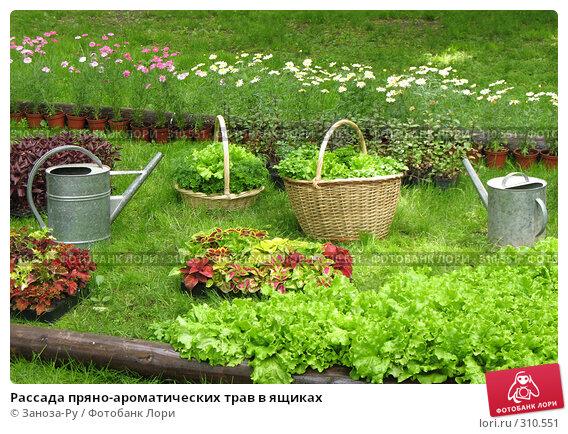 Рассада пряно-ароматических трав в ящиках, фото № 310551, снято 1 июня 2008 г. (c) Заноза-Ру / Фотобанк Лори