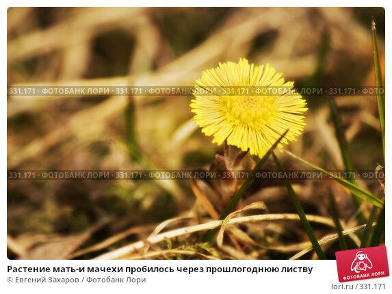 Растение мать-и мачехи пробилось через прошлогоднюю листву, фото № 331171, снято 5 апреля 2008 г. (c) Евгений Захаров / Фотобанк Лори