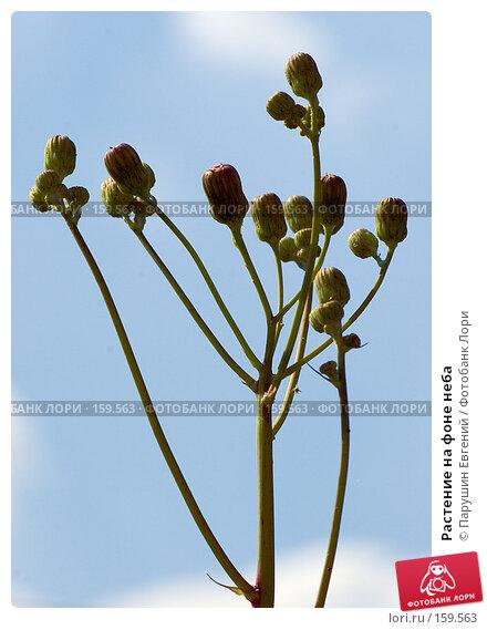 Растение на фоне неба, фото № 159563, снято 22 июля 2017 г. (c) Парушин Евгений / Фотобанк Лори