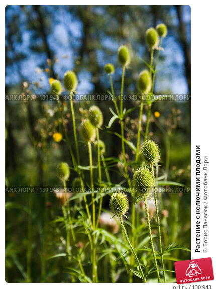 Растение с колючими плодами, фото № 130943, снято 17 августа 2007 г. (c) Борис Панасюк / Фотобанк Лори