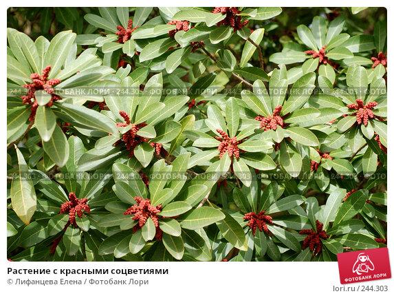Растение с красными соцветиями, фото № 244303, снято 24 марта 2008 г. (c) Лифанцева Елена / Фотобанк Лори