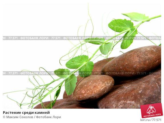 Растение среди камней, фото № 77571, снято 23 июля 2007 г. (c) Максим Соколов / Фотобанк Лори