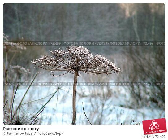 Растение в снегу, фото № 72499, снято 5 января 2006 г. (c) Parmenov Pavel / Фотобанк Лори