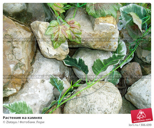 Растения на камнях, фото № 306699, снято 29 мая 2017 г. (c) Zlataya / Фотобанк Лори