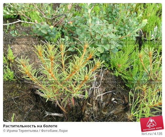 Растительность на болоте, эксклюзивное фото № 4135, снято 21 августа 2004 г. (c) Ирина Терентьева / Фотобанк Лори