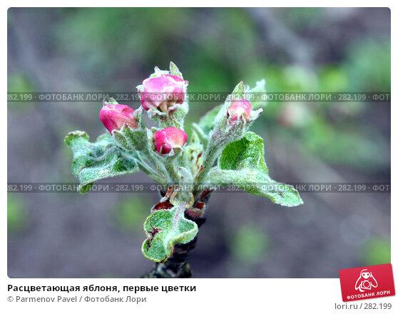 Расцветающая яблоня, первые цветки, фото № 282199, снято 10 мая 2008 г. (c) Parmenov Pavel / Фотобанк Лори