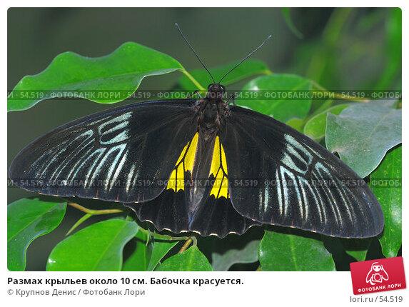 Размах крыльев около 10 см. Бабочка красуется., фото № 54519, снято 7 мая 2007 г. (c) Крупнов Денис / Фотобанк Лори
